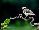 黑领椋鸟叨食葡萄过程