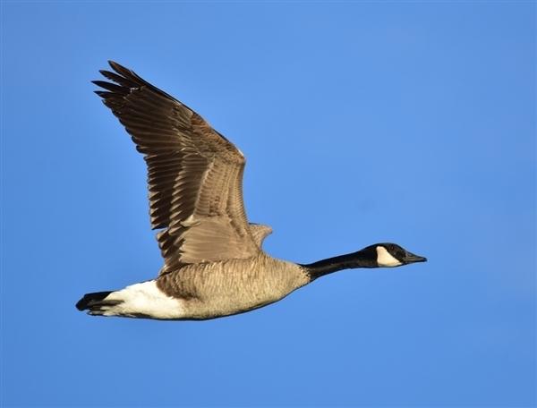 网易考拉加拿大鹅鉴定结果出炉:最终鉴定是正品