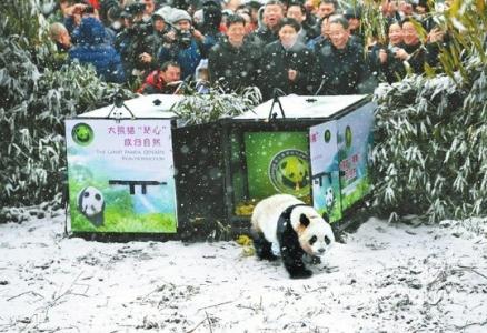 她是世界野生动物基金会会徽上的熊猫原型,也是伦敦动物园史上最受