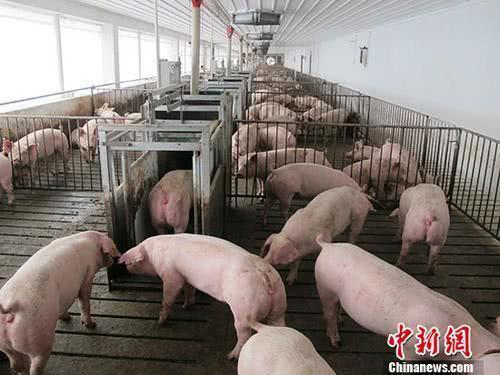 资料图:活猪养殖场。 中新。社记。者 林浩 摄