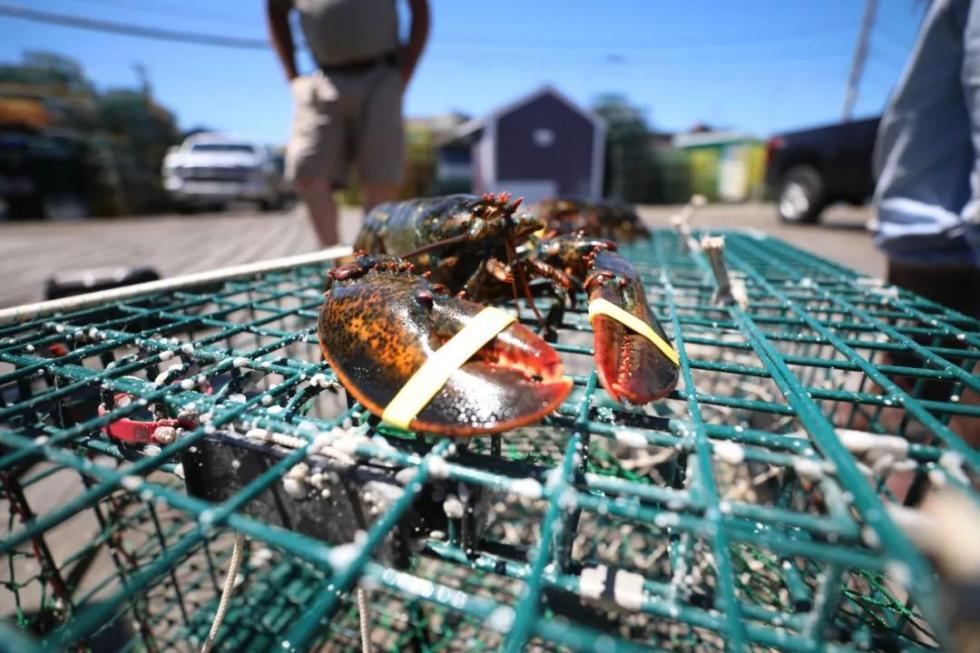 这是2018年6月22日在美国缅因州拍摄的龙虾。 新华社记者张墨成摄