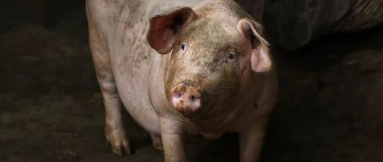 一头猪赚1500元 做皮革的公司沉不住气也来养猪了
