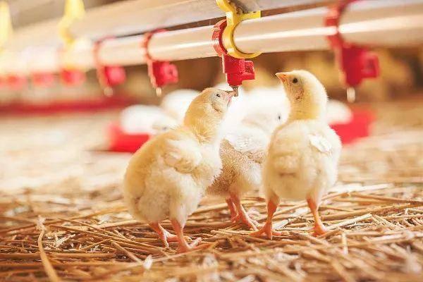 刘明说,公司今年稀奇新购入了6万套栽鸡,再有两个月,这些栽鸡就能够产蛋了,到时鸡苗主要的情况就会有所缓解。数据表现,鸡苗价格从8月份开起展现了迅速上涨,7月全国鸡苗价格每羽还在4.54元旁边,而10月份,每羽价格已经攀升至10元之上。