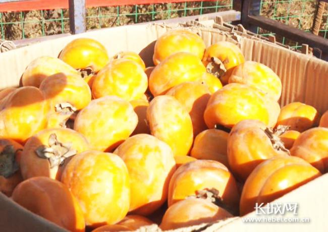 涞水:京保协作结硕果 小柿子做