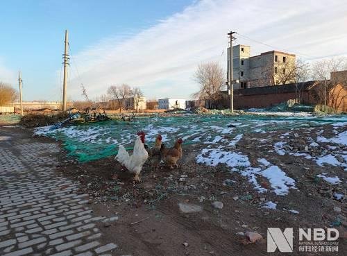 悠闲散步的鸡