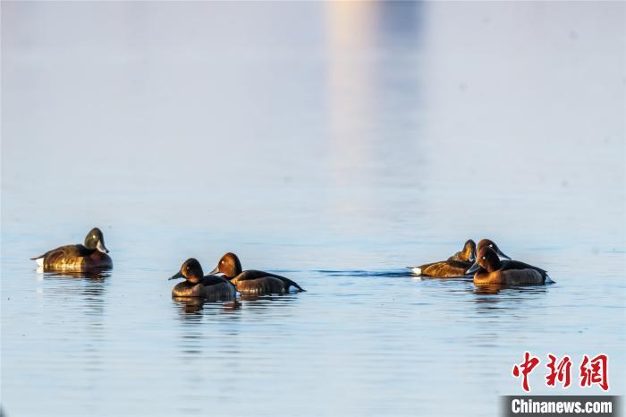 """世界极危鸟类青头潜鸭""""组团""""戏水泰湖湿地"""