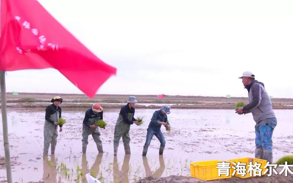 首次种在2800米高原 今年全国海水稻面积达10万亩