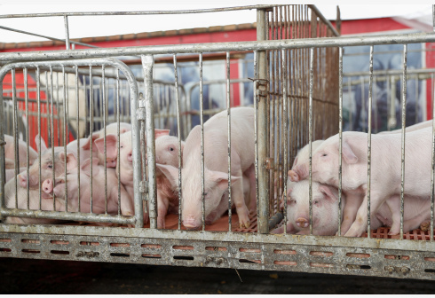 哪里买的猪?谁来驾驶?车辆是否消毒?降低猪瘟传播风险,下月起这些生猪收购贩运信息将强化管理……