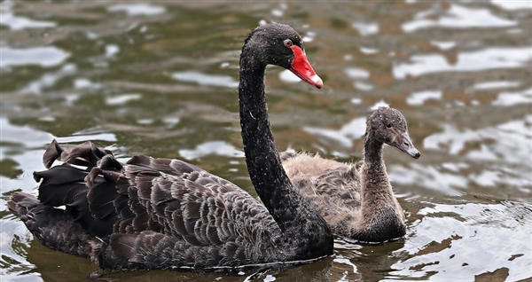 圆明园黑天鹅感染禽流感 海淀通报:已控制、其它地区未见感染