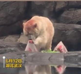 北极熊吃上特制60斤冰粽 通过科学搭配制成