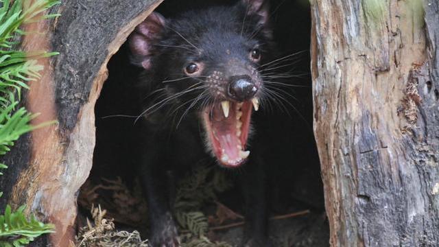 """灾难!澳大利亚将""""恶魔""""物种引入一小岛,岛上企鹅遭""""团灭"""""""