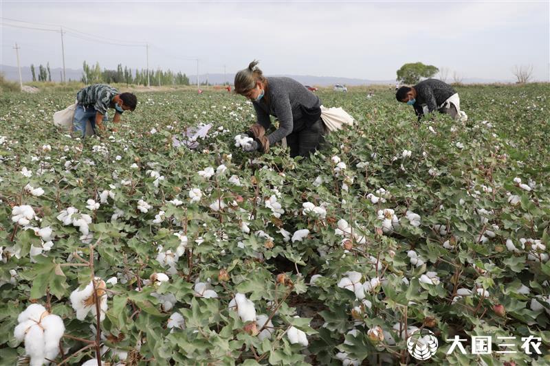 新疆阿拉尔垦区棉花陆续开采