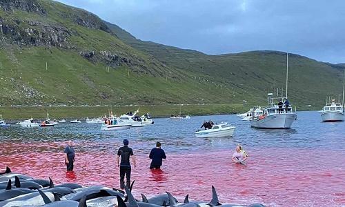 卫报:法罗群岛屠杀1500头海豚 史上规模最大血水染红海滩 当地人感到恶心